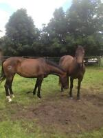 Warm Blood Colts 2 & 3 year olds