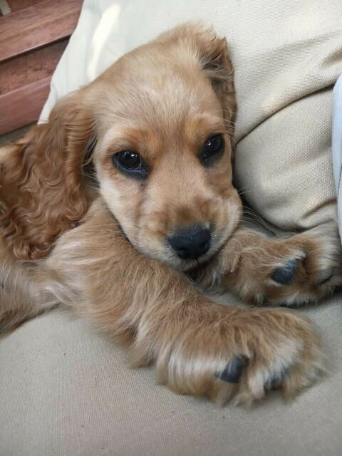 Male Cocker Spaniel For Breeding Wanted Wagga Wagga Gumtree