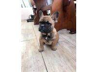 Puppies for sale ..French Bulldog,Dachshund etc..
