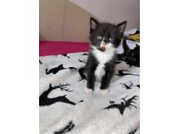 One kitten left! READY NOW!