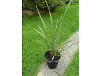3 Year Old Phormium Tenax New Zealand Flax plant