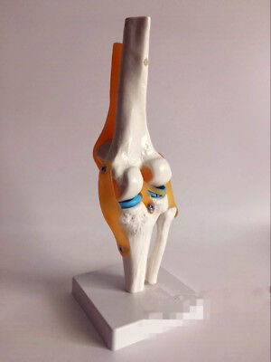 Life Size Knee Joint Model Human Skeleton Anatomy Study Display Teaching Medical