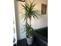 Dragon Plant and Pot