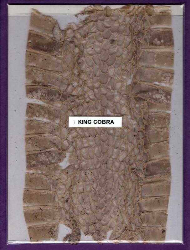 "Genuine 6-1/2"" x 10"" King Cobra Shed Snake Skin Swatch Rare Exotic Oddity Crafts"