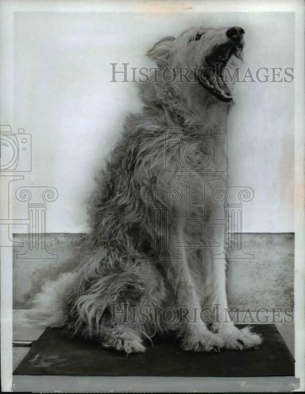 1965 Press Photo Goodyear Tire & Rubber Makes Heating Pad For Dogs - nee51361