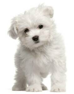 Wanted: maltese puppie