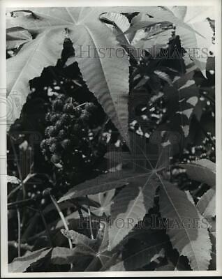 1971 Press Photo The castor bean herb in Texas - hca28672