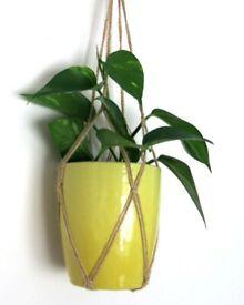 One hanging pot golden pothos devil's ivy money plant -evergreen garden indoor house plant