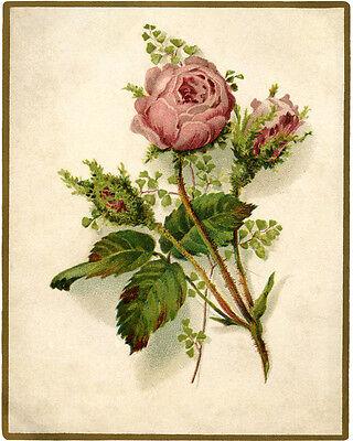 Vintage Moss Rose (Vintage Moss Rose flower VINTAGE ENAMEL METAL TIN SIGN WALL PLAQUE)