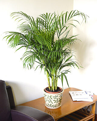 Indoor Plant-Chrysalidocarpus lutescens - Areca Palm -Butterfly Palm- 1.4M Tall