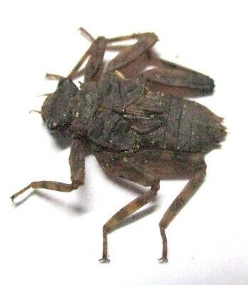 F015 Mi : AG : Odonata species? Nymph 16.5mm