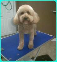 Professional Small Breed Dog Grooming