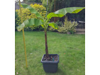 Banana Plant - Musa Basjoo - various available - 3ft to 6ft tall