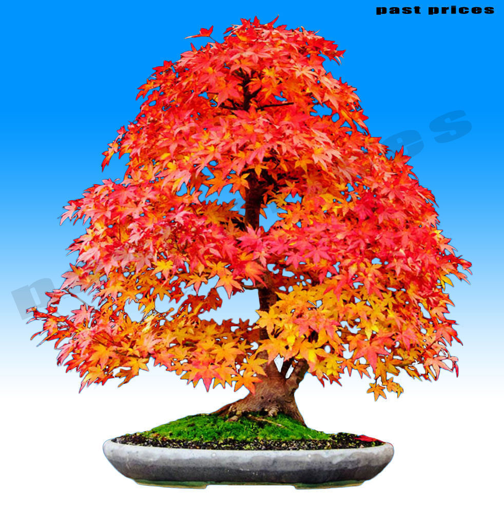 Norway maple is a medium sized tree with a rounded symmetrical crown often as broad as the tree is tall Read more about Tree Bark Twigs
