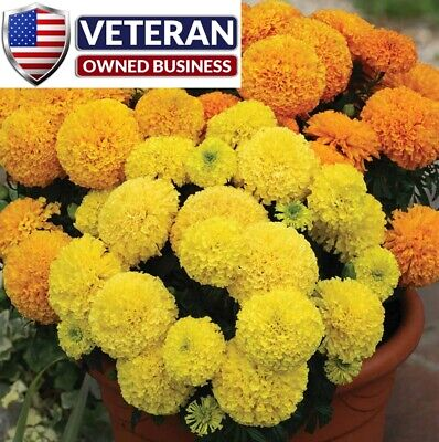Marigold seeds Crackerjack mix 125+ seeds African Marigold Cracker jack