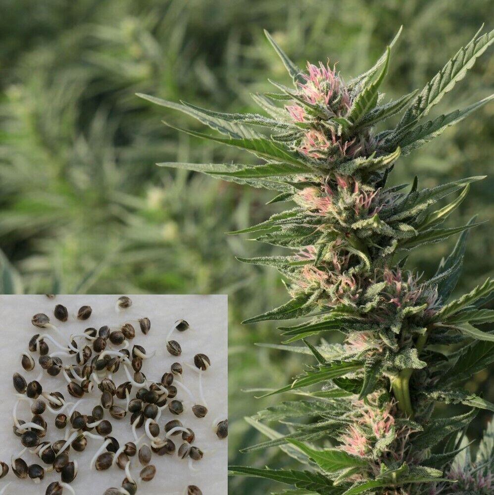 Cannabis Samen, Nutzhanf, Cannabis Sativa, Angelhanf, 3000 keimfähige Hanfsamen