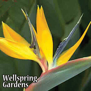 Yellow Bird of Paradise - Mandela's Gold LIVE PLANT Exotic Flower
