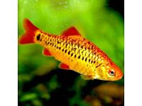 """GOLD BARB. 2"""". 5 large gold barb for re-homing. Collection only."""