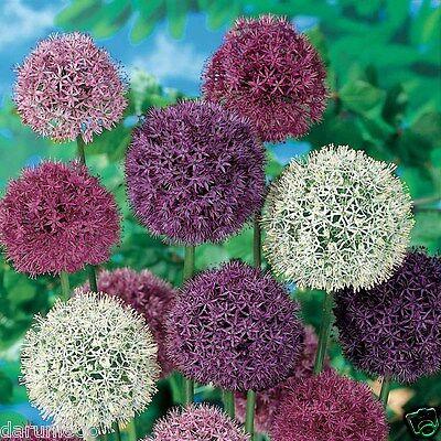 3 ALLIUM PASTEL MIXED GARDENING BULB BEAUTIFUL SPRING SUMMER FLOWER PERENNIAL