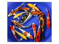 "Grade A Koi for sale *HUGE OFFER!* From 2-3"" to 12"" Live Pond Fish"