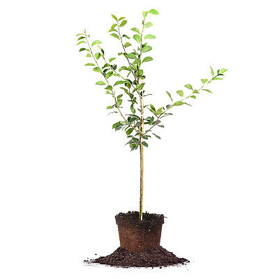 Orient Pear Tree  Live Plant  Size  3 4 Ft