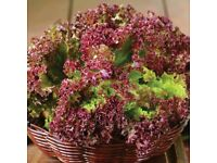 Lettuce Lollo Rossa - Growing in 7cm Pot –Full of Flavour - Cut and Come - 50p each