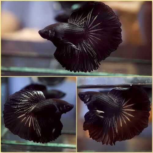 Live Betta Fish BLACK ORCHID Rosetail HM Male #A488