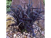 Black Mondo / Black Grass / Ophiopogon £3 Each