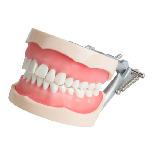 ARTICULATED SOFT GINGIVA DENTAL TYPODONT MODEL 200 WITH REMOVABLE TEETH