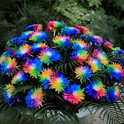 100 Rainbow Chrysanthemum Flower Seeds,rare Special Unique unusual - Rainbow Flower