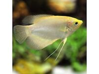Giant Albino Gourami fish for sale £6