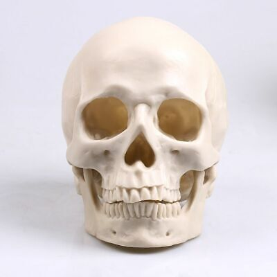 Human Head Skull Model Resin Replica Size Medical Life Skeleton Anatomical Decor