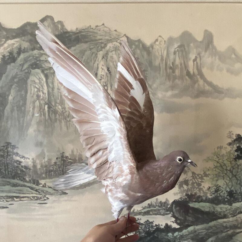 Taxidermy stuffing Eurasian pigeon Columba specimen Teaching / Decoration