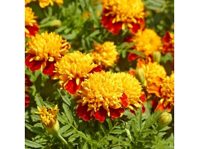390 samen Ringelblume Golden Gem Samen Tagetes tenuifolia