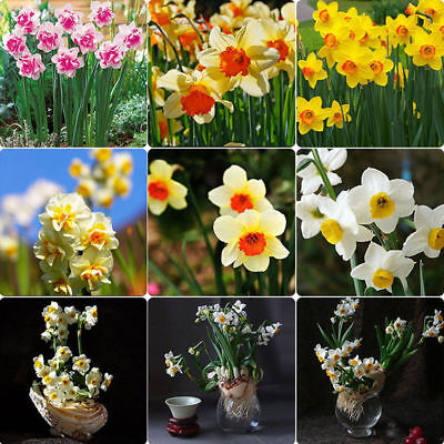 400Pcs Mixed Daffodil Double Narcissus Duo Bulbs Seeds Spring Plant Flower (Plant Narcissus Bulbs)