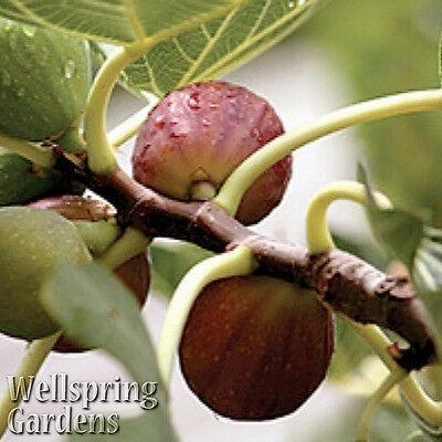Honey Fig (HARDY FIG FRUIT TREE Celeste Live Plant aka Honey, Malta, Sugar, Violette, Blue )