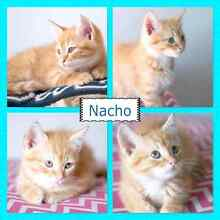RESCUED  FELINES kittens & adults ALL VETTED Nambour Maroochydore Area Preview
