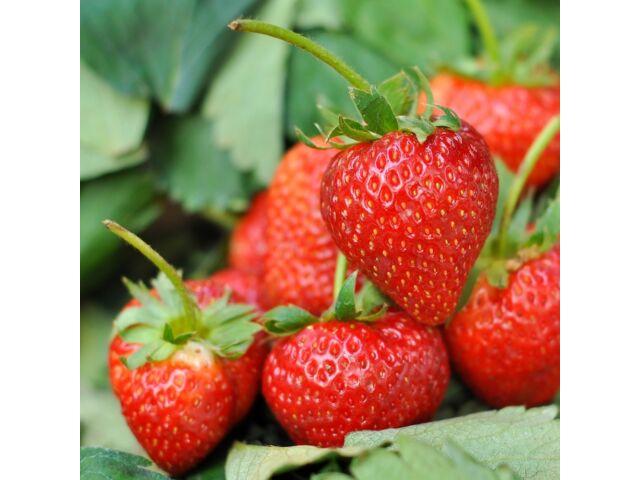 Strawberry Tresca Fragaria ananassa 100 seeds