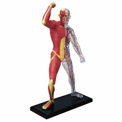 4D Vision Human Muscle Skeleton Anatomy Model Anatomical Anatomy Medical