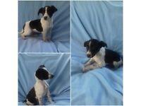 Springer Spaniel X Whippet Puppy For Sale