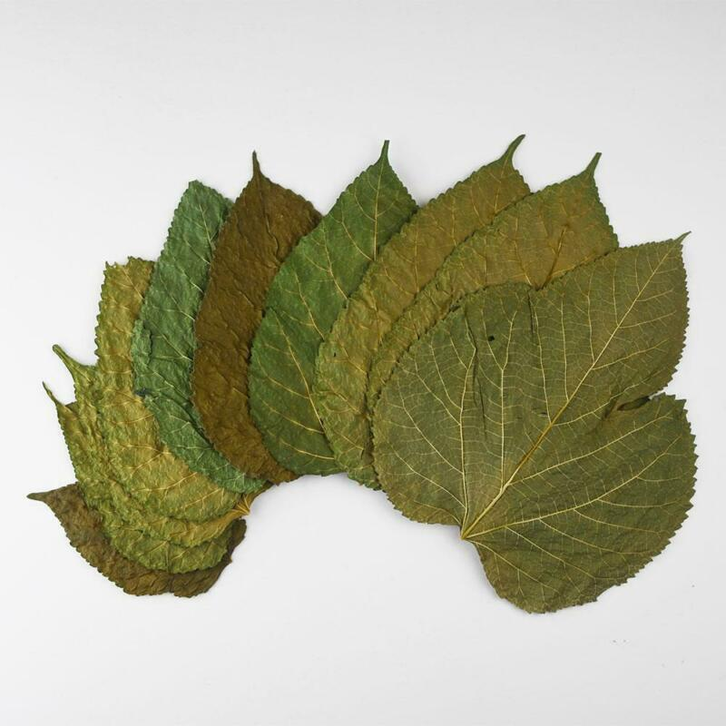 Mulberry Leaves - Pesticide Free - Organic Natural Shrimp Food