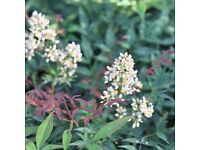 Mature Nandina Domestica / Heavenly Bamboo Tree. Approx 5 yrs old. Planter Included