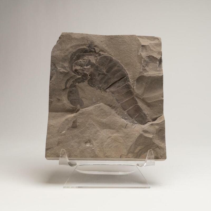 Genuine Eurypterus (Sea Scorpion) on Display