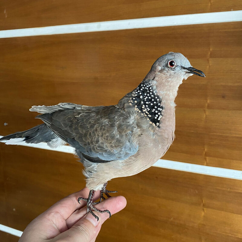 Taxidermy stuffing Eurasian  Turtle Dove Streptopelia specimen Teaching