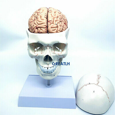 11 Skull Brain Anatomical Removable Brain Model With Cervical Spine Skeleton