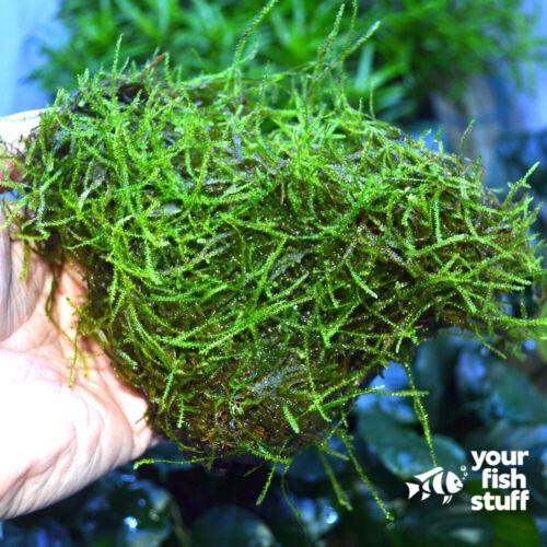 Java Moss on Driftwood Live Aquarium Plants Easy Low Light Plant