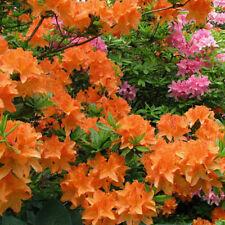 3 X ORANGE AZALEA JAPANESE EVERGREEN SHRUB HARDY GARDEN PLANT IN POT