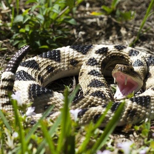 Realistic Big Rattlesnake Novelty Detailed Large Fake Toy Reptile Rubber Snake