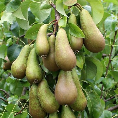 Two Conference Pear Trees To Plant Yourself (Root Wrapped) 2m (Free Postage UK)