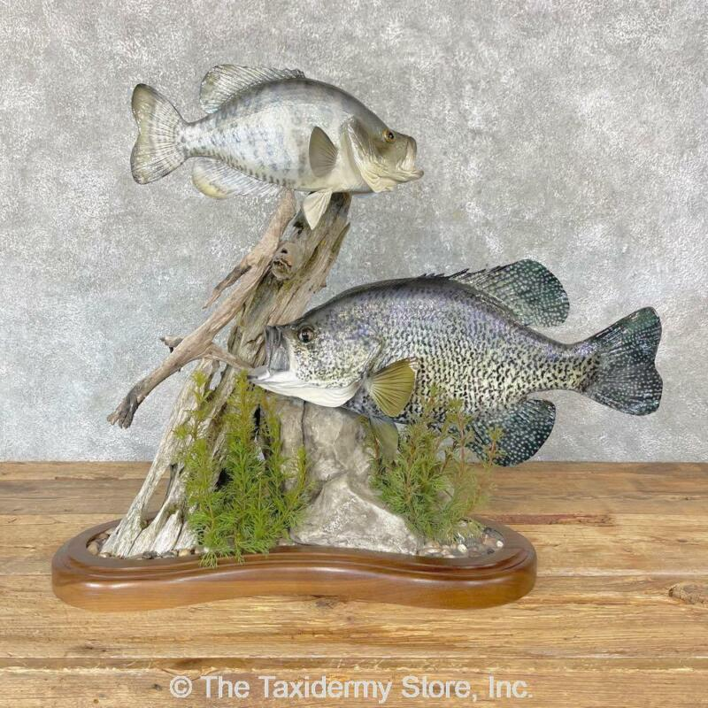 #24746 WC   White Crappie & Black Crappie Taxidermy Fish Scene For Sale